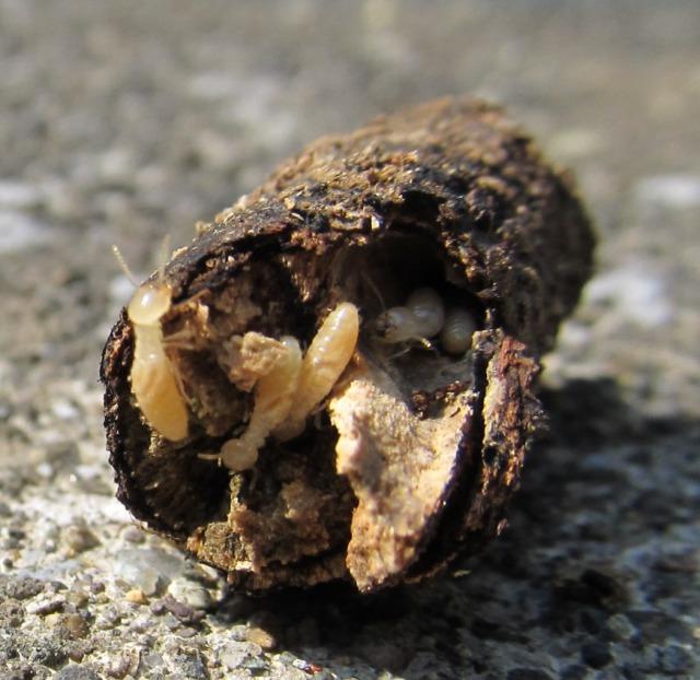 投棄された廃材のシロアリ被害