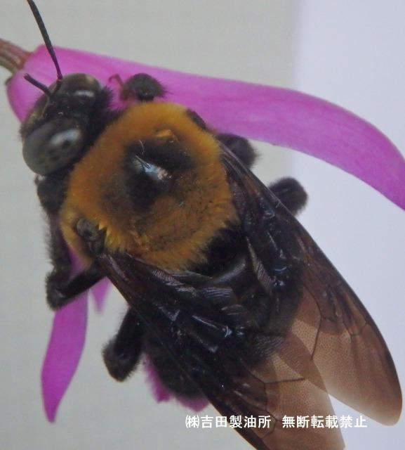 クマバチ忌避剤試験施工